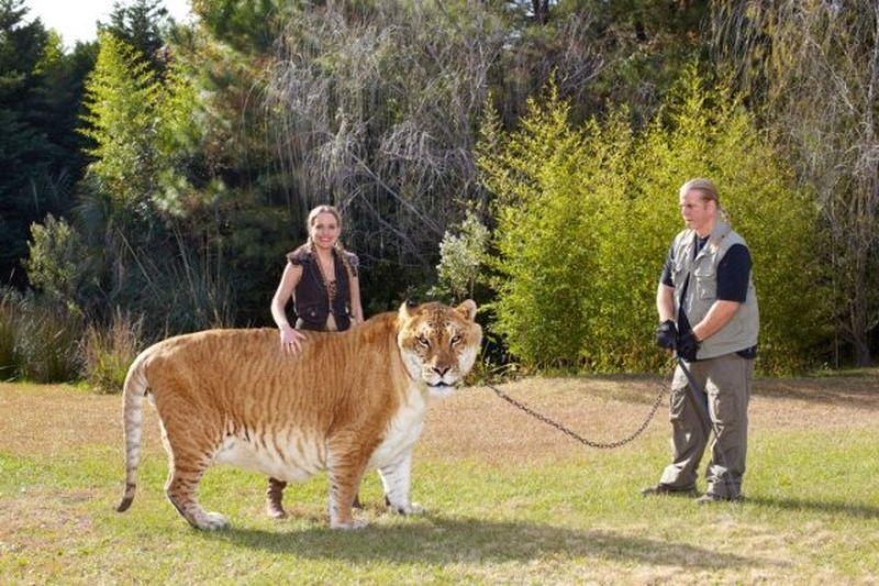 Самые упитанные коты в мире – жирный рейтинг