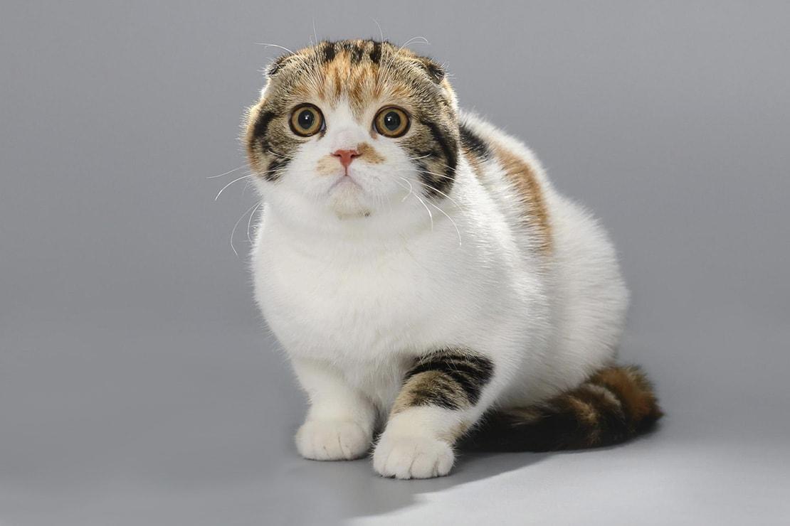 Хайленд фолд - характеристика, особенности, болезни и воспитание кошки (115 фото + видео)