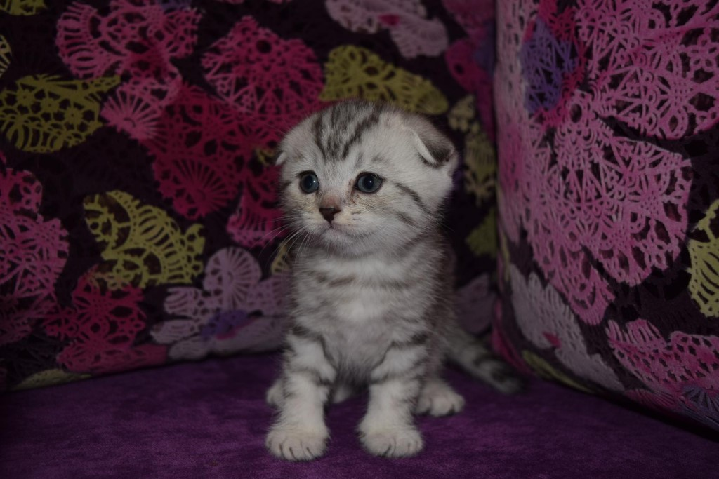 Клички для вислоухих шотландских кошек и котов: красивые имена шотландцев. как можно назвать серого и черного котенка? прикольные клички, варианты на английский манер