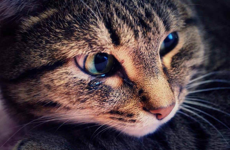 У шотландского котенка слезятся глаза что делать