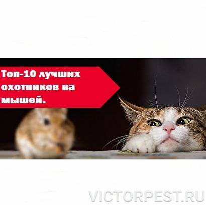Кошки и коты каких пород лучше ловят мышей и крыс
