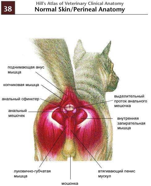 Абсцесс параанальных желез у кошек лечение после операции