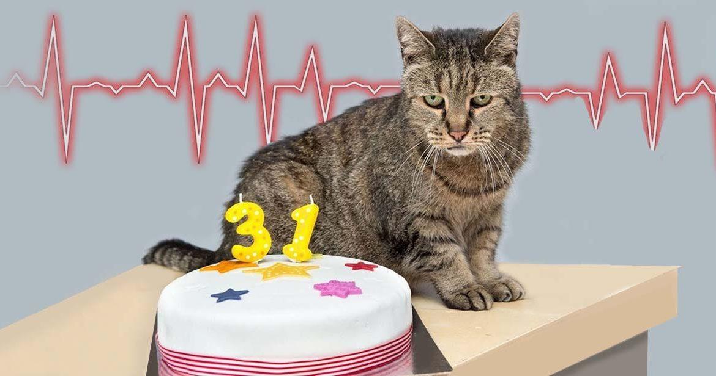 Инфаркт у кошек и котов