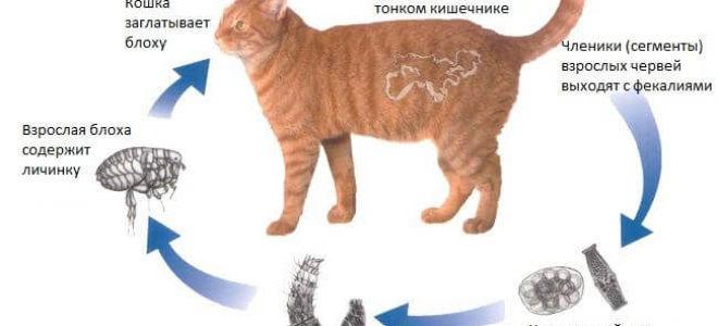 Виды глистов у кошек: пути заражения, симптомы и лечение