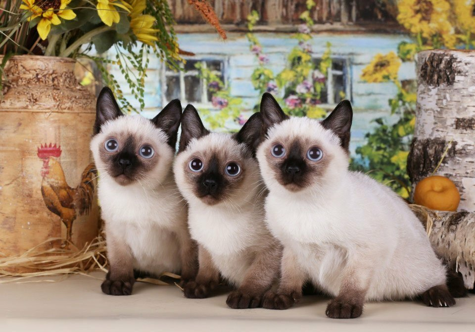 Карликовые кошки