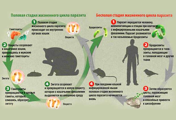 Токсоплазмоз — как передается токсоплазмоз, пути передачи и методы лечения - proinfekcii.ru