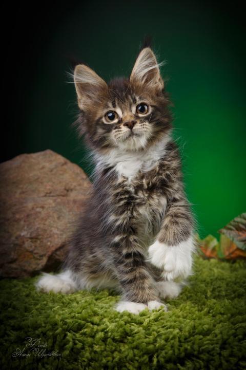 Полидактильная кошка – значит много пальцев, преимущества, отличия