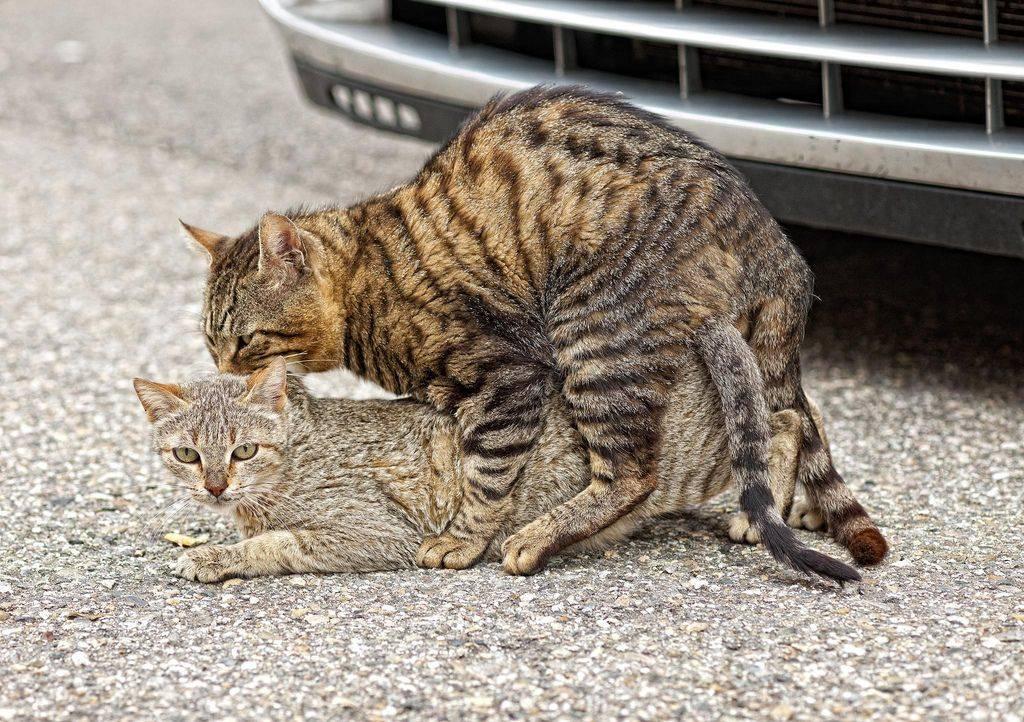 Кошка просит кота: когда наступает половая охота и как успокоить животное в домашних условиях