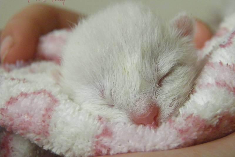 Тревожный знак во время родов — у кошки не вышел послед, что делать?