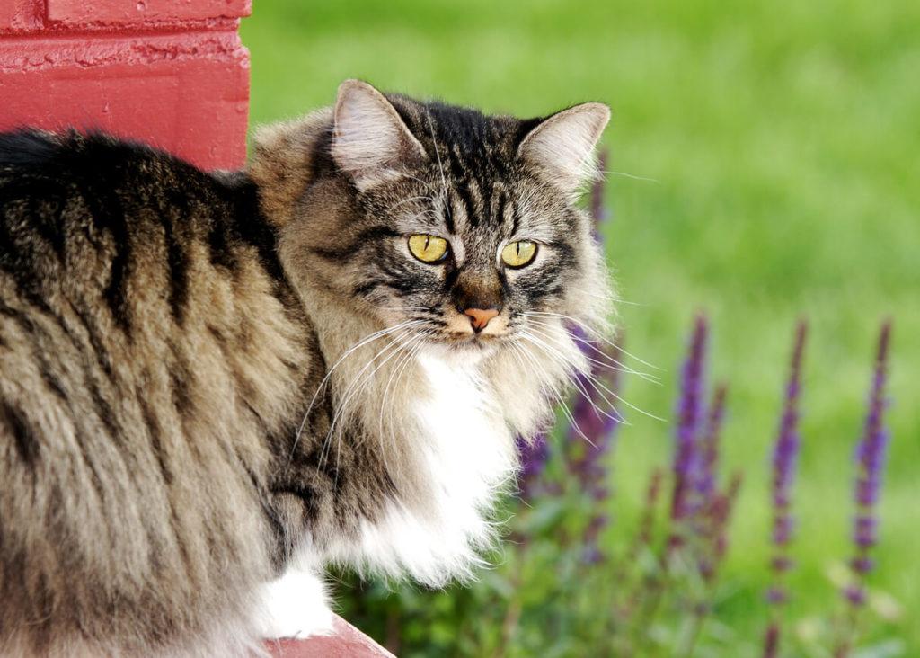 Кимрик (уэльская кошка): фото, описание породы, характер и здоровье