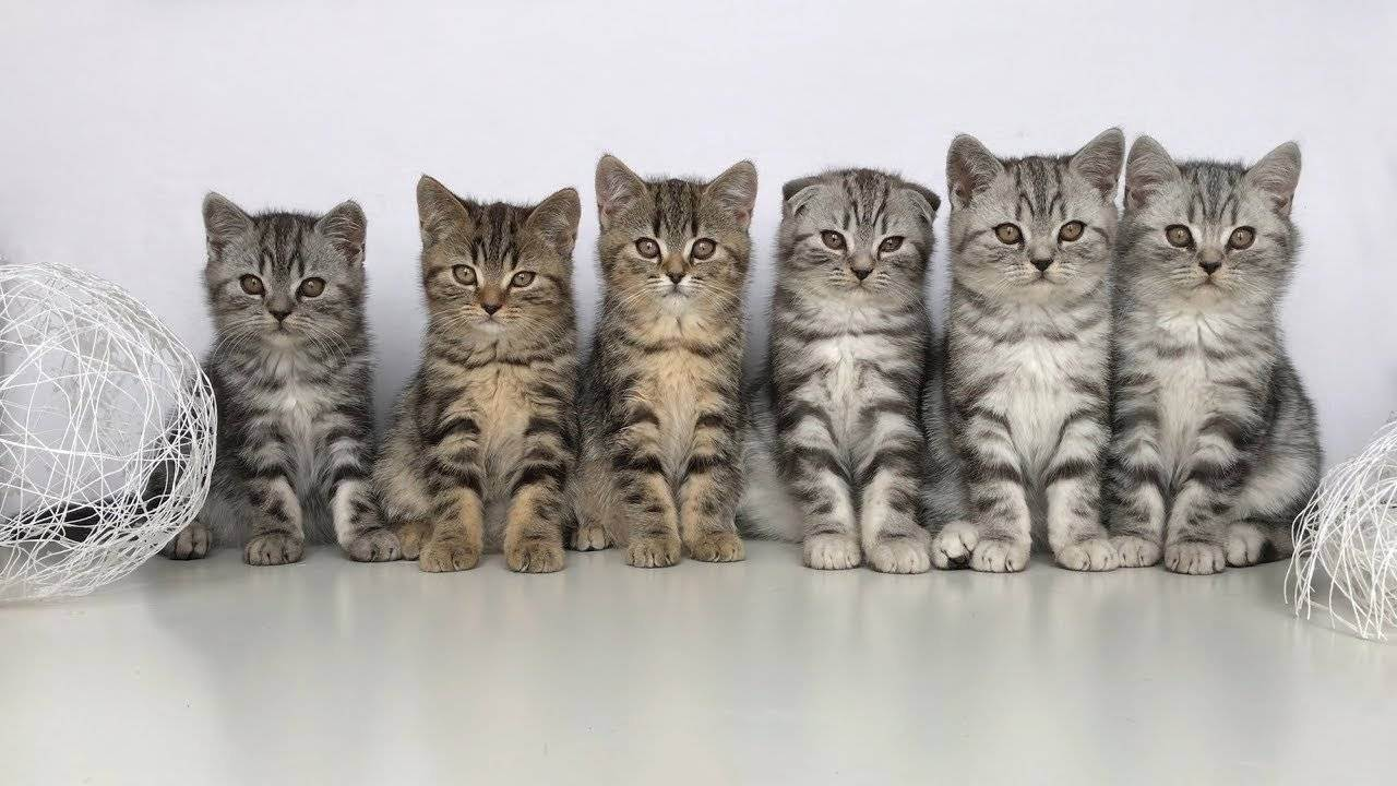 Кошки шотландской породы: как выбирать грациозных аристократов и ухаживать за ними