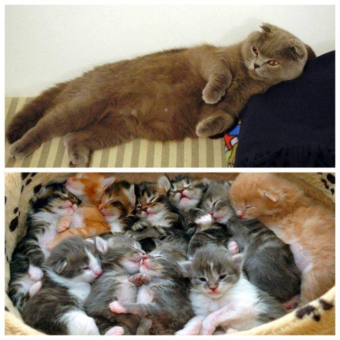 Может ли кошка забеременеть без течки: периоды покоя