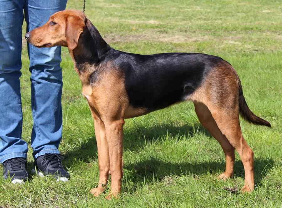 Финская гончая: описание породы собак с фото и видео