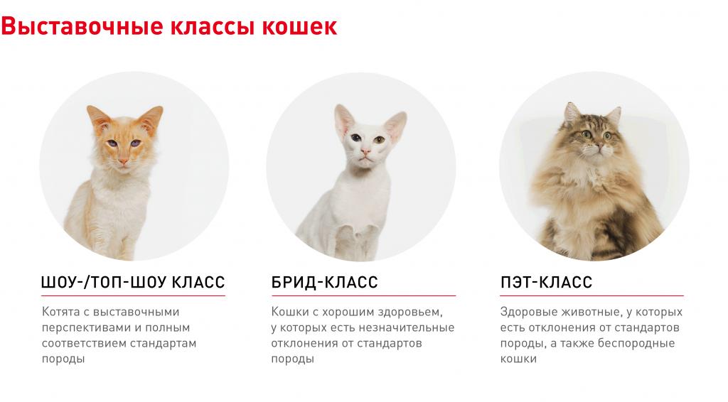 Способы определить породу своей кошки или кота по окрасу