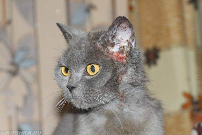 Лечение ушного клеща у кошки: симптомы, лечение, профилактика