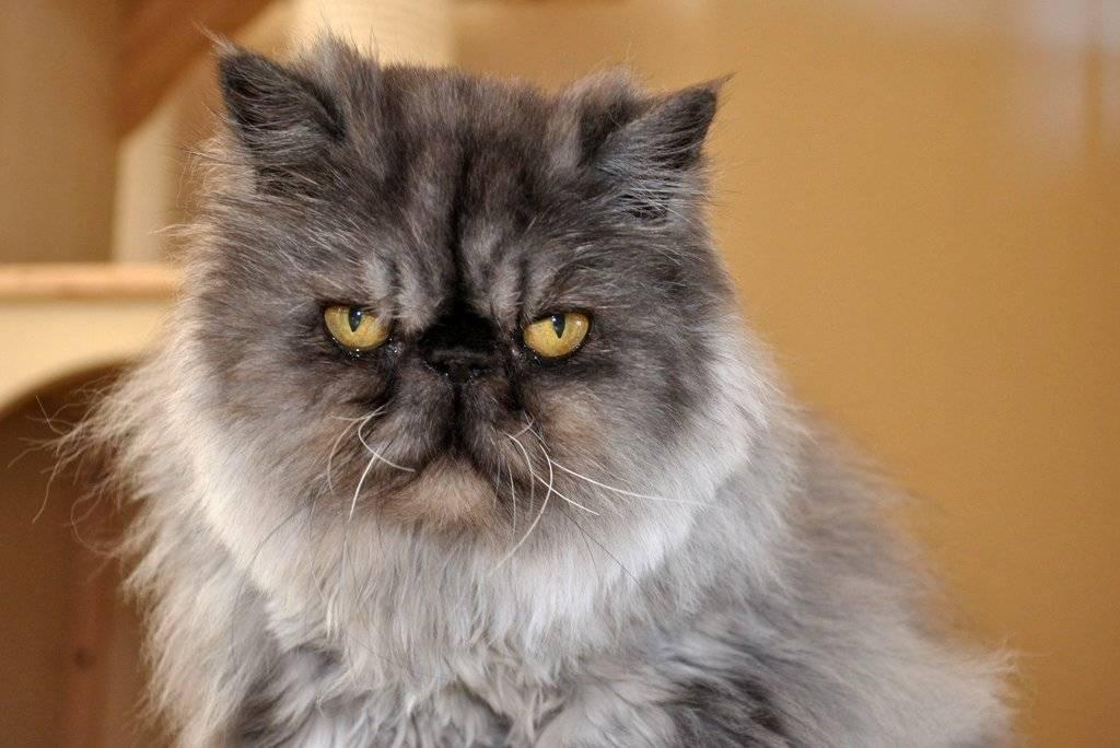 Персидская кошка сколько живут — о животных на чистоту