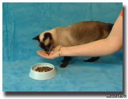Как и чем кормить сиамского котенка: меню по возрастам