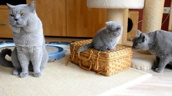 Какая порода кошек лучше для квартиры