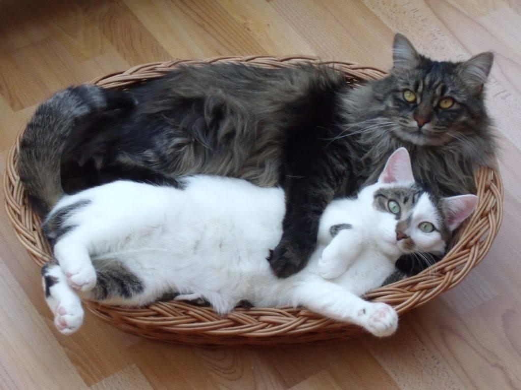 Черная сибирская кошка: описание породы и особенности окраса