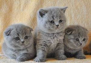 Особенности ухода и кормления шотландской вислоухой кошки