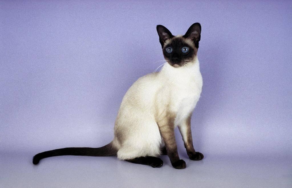 Сколько лет живут сиамские кошки в домашних условиях?