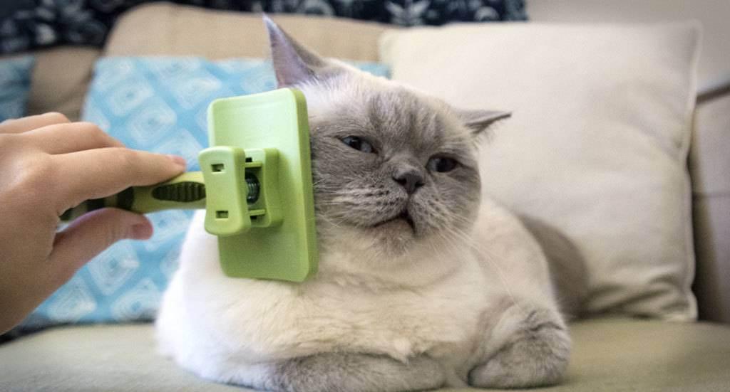 Уход за британскими котятами: что едят, характер питомца