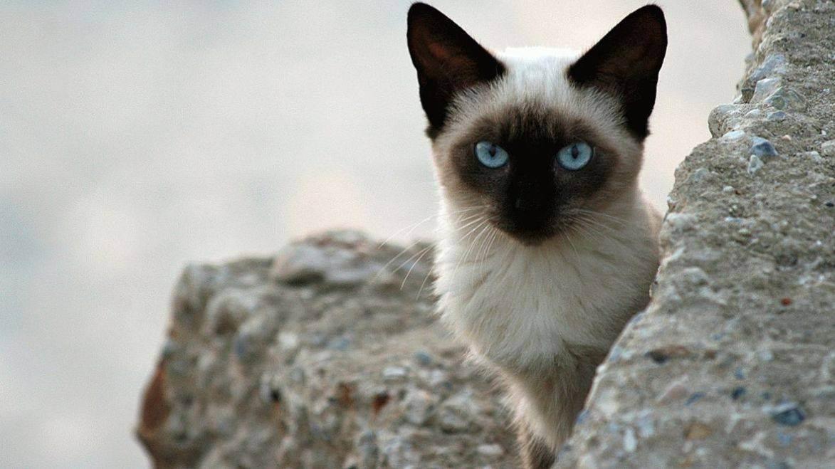 Имена для сиамских кошек: популярные и красивые клички для мальчиков и девочек сиамской породы