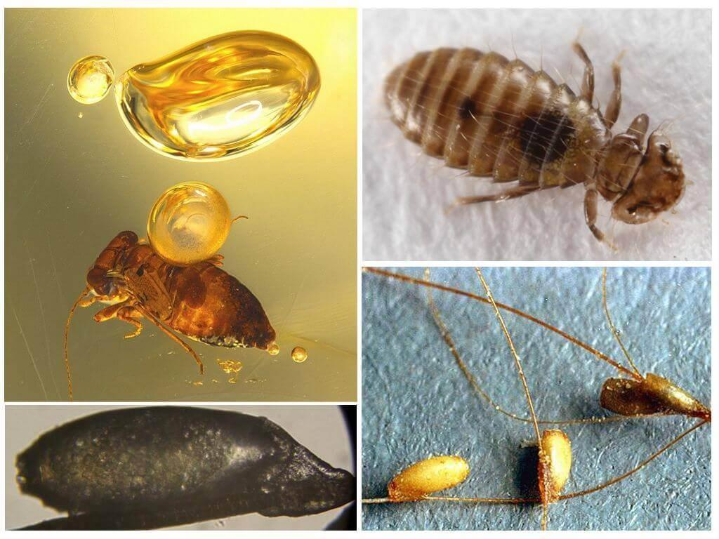Как выглядят личинки блох: как обнаружить их в доме