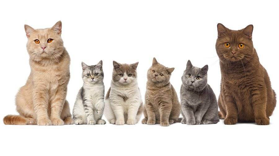 Британская короткошерстная кошка: особенности поведения и ухода (105 фото)
