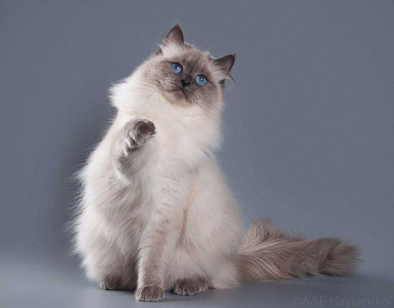 Сиамская кошка: описание породы, характер, фото сиамской кошки