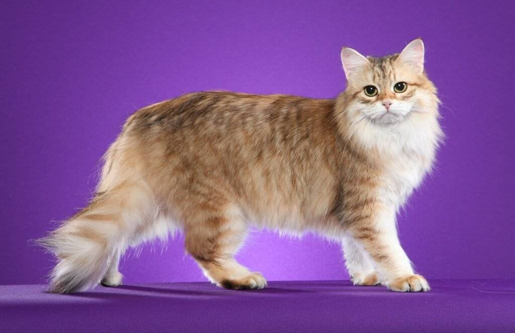 Сибирская кошка: описание породы, характер и особенности ухода