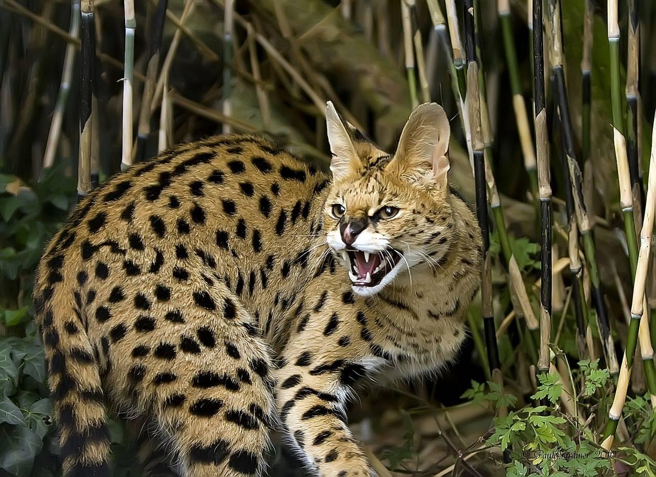 Все о домашних африканских сервалах: габариты и описание дикой породы кошек