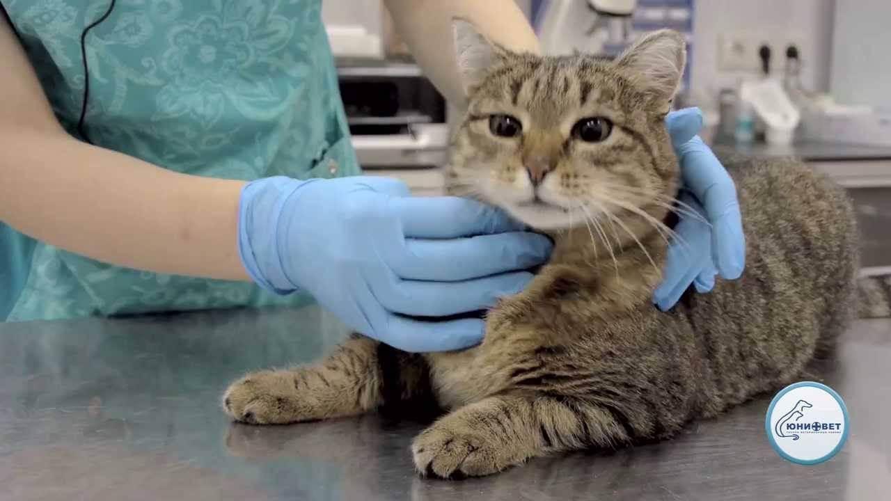 Как дать кошке таблетку от глистов?