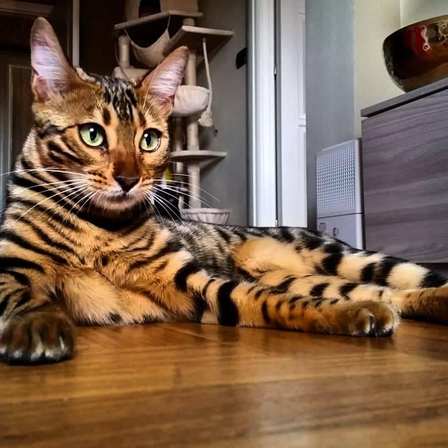 Бенгальская кошка — подробное описание породы, фото, характер, содержание. узнайте все про бенгальскую породу кошек в этой статье (отзывы + обсуждение)