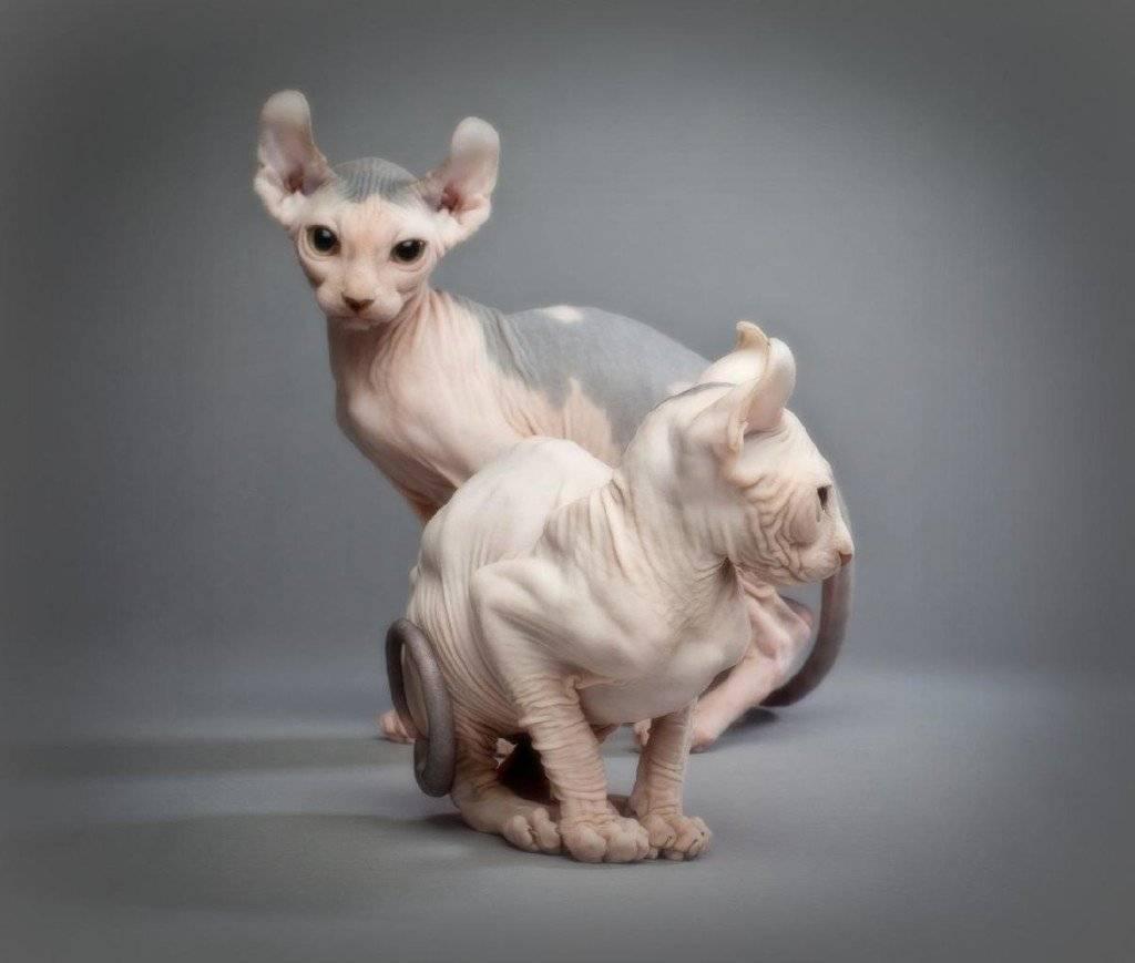 Кошки эльфы (45 фото): особенности породы, описание внешности котов и котят. правила ухода и кормления