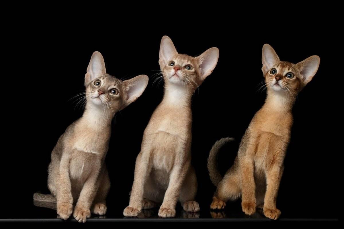 Абиссинская кошка: стандарт породы с фото, описание характера, особенности ухода