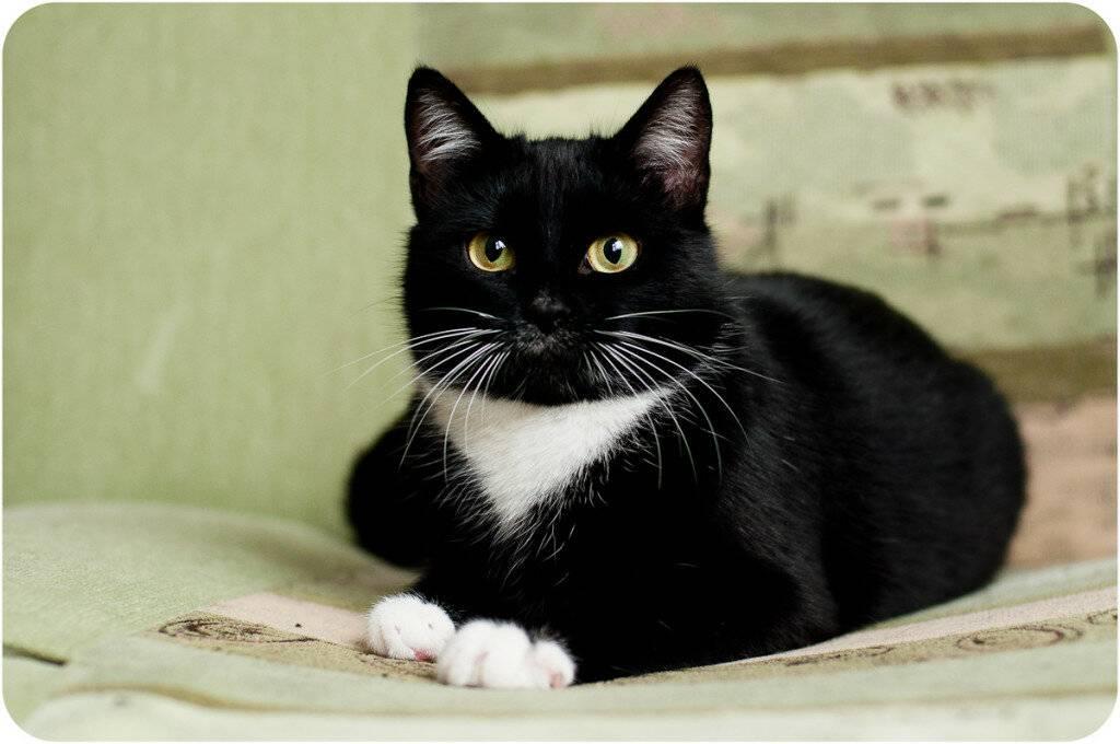 Каких пород бывают кошки черного окраса? породы черных кошек