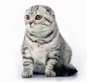 Хочуууу! помогите определиться, шотландский вислоухий или кот экзот? никита очень просит котёнка