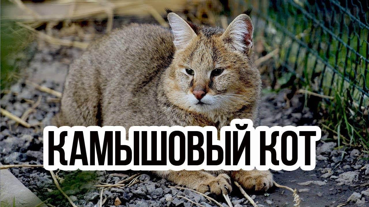 Камышовая кошка