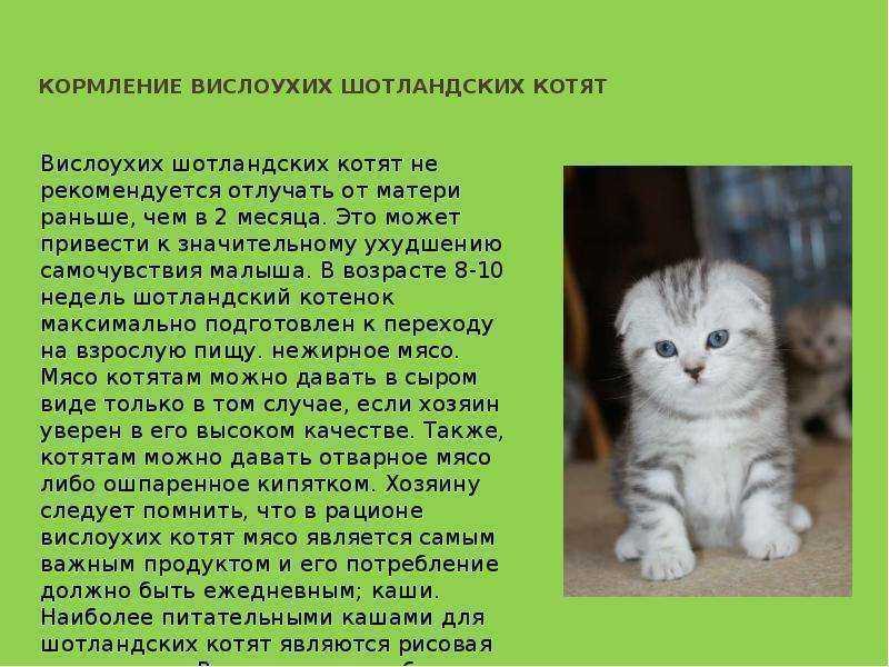 Уход за шотландским котенком и взрослой вислоухой кошкой, содержание и кормление скоттиш-фолда