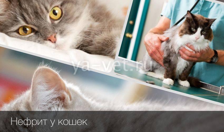 Нефриты у кошек: причины, симптомы, лечение, восстановительный период и советы ветеринара