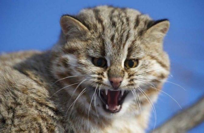 Норвежская лесная кошка: фото, описание, характер, содержание, отзывы