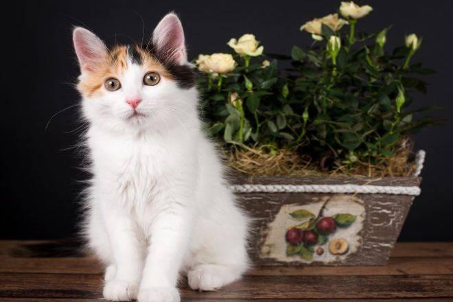 Турецкий ван – кошка-пловец с армянского нагорья