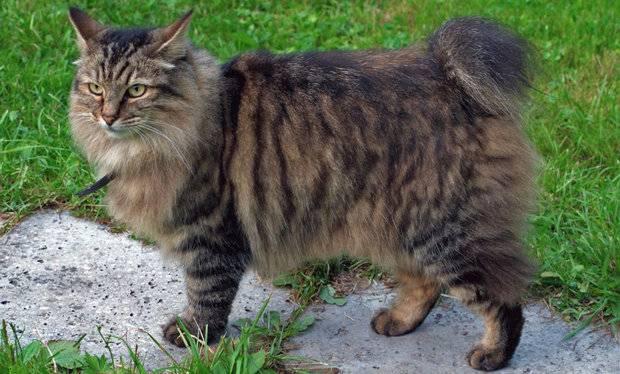 Самые большие домашние кошки – какие они?