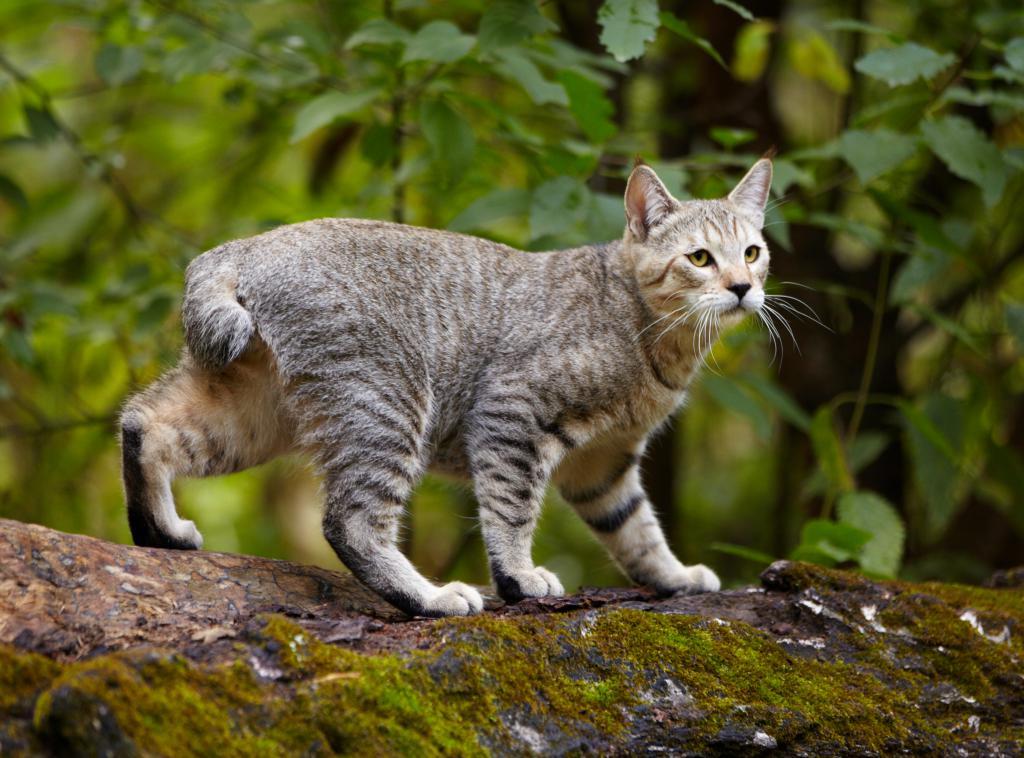 Курильский бобтейл: фото, описание породы, характер и поведение кошки, отзывы хозяев кота, выбор котенка