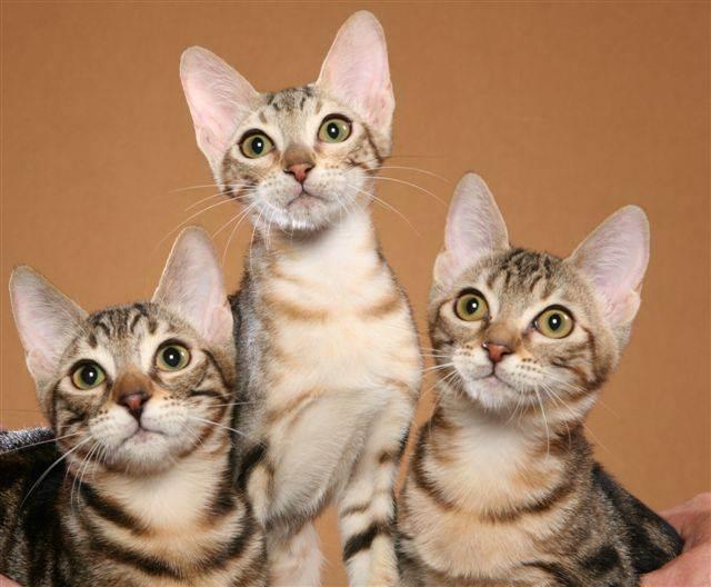 Все о мяуканье кошек