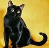 Грациозная черная пантера — бомбейская кошка