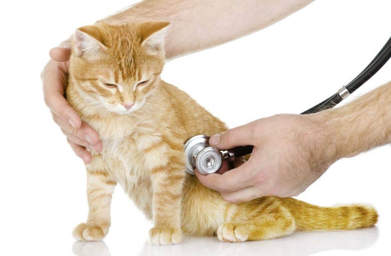 Кашель у кота лечение в домашних условиях