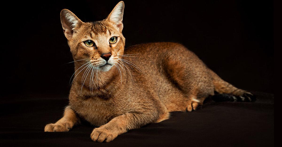 Топ 10 самых быстрых кошек в мире