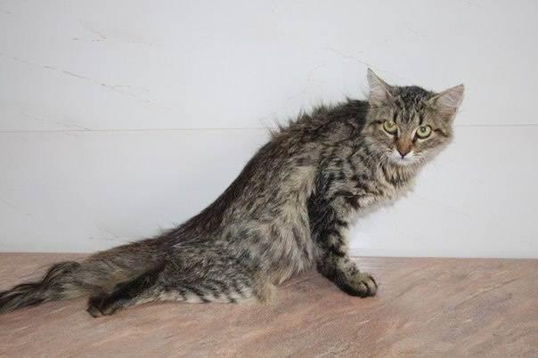 Падение кошки с большой высоты (высотная травма у кошки)